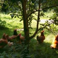 Hühner im Hagen